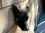 狗狗爆笑图片之钻狗洞的悲剧
