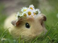 可爱小豚鼠图片壁纸集锦