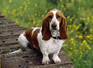 漂亮小狗狗巴吉度犬花园写真图片