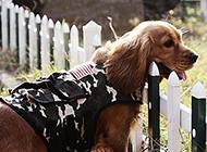 小可卡犬警犬帅气抓拍图片