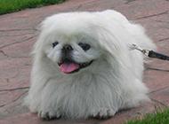 纯种京巴犬顽皮吐舌图片