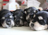 小型雪纳瑞犬萌态十足图片