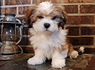 可爱的拉萨犬图片大全