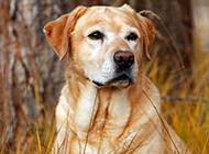 黄色拉布拉多犬忧郁表情图片