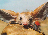 长耳跳鼠可爱模样图片