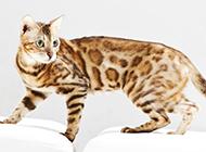 中华豹猫高清壁纸图片大全