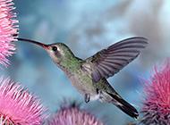 吸食花蜜的蓝翅大蜂鸟图片