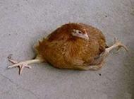 爆笑动物图片之鸡都能劈叉了