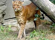 野生金猫图片姿态霸气