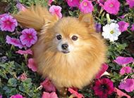 可爱狐狸犬春天公园抓拍图片