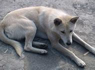 白色温顺中华田园犬图片大全