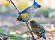 羽翼鲜艳的七彩相思鸟图片
