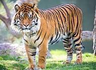 苏门答腊虎高清摄影图片
