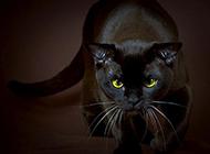 眼神犀利霸气的孟买猫图片