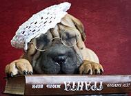可爱宠物狗品种沙皮狗图片壁纸