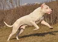 纯种杜高犬跳跃图片欣赏