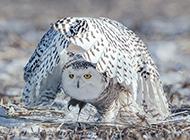 羽翼饱满的野生飞禽雪鸮图片