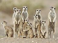 非洲平原猫鼬高清摄影图片