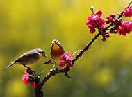 春日相思鸟枝头优雅嬉戏图片