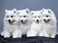 小萨摩耶犬可爱图片模样乖巧