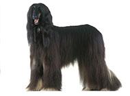 阿富汗猎犬高贵外表图片