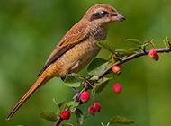 爪子锋利的红尾伯劳鸟图片