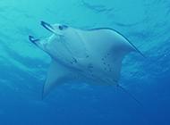 欢快游动的淡水鳐鱼图片