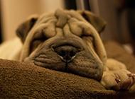 沙皮犬狗狗睡觉的图片