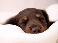 杜宾犬小狗睡觉的样子图片