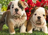 置身花丛的斗牛犬幼犬图片