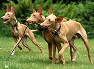 群猎犬法老王猎犬图片
