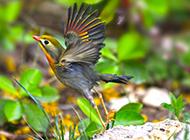 振翅欲飞的相思鸟图片欣赏