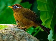 极品画眉鸟近距离抓拍图片