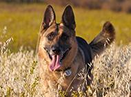 德国黑背犬图片写真欣赏