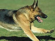 草地疯狂飞奔的大黑狼犬图片