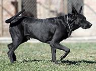 墨界黑狼犬图片步伐神气自信