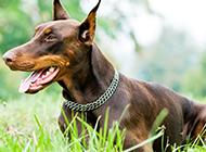 趴在草地上的大型杜宾犬图片