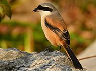 强健凶猛的灰伯劳鸟图片