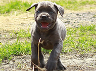 幼犬卡斯罗犬奔跑图片大全