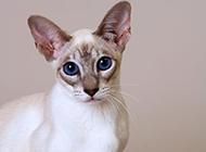 著名宠物猫大长脸暹罗猫图片