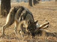 捷克狼犬野外狩猎图片