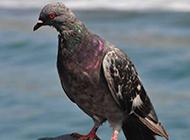 鸽子图片素材鸟类动物高清特写