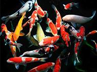 日本锦鲤鱼池戏耍图片