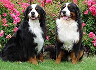 瑞士伯恩山犬帅气宠物狗狗写真图片