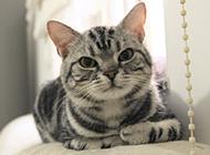 可爱乖巧的美国短毛猫图片