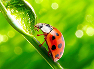 绿叶上的可爱七星瓢虫图片