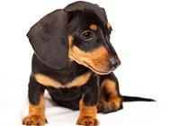 温驯可爱的腊肠犬图片