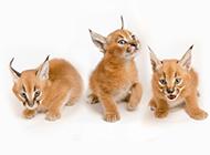 小狞猫图片模样可爱逗人