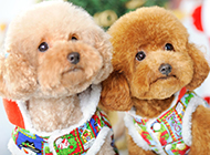漂亮泰迪犬卖萌图片
