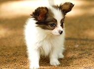 可爱萌宠蝴蝶犬幼犬图片
